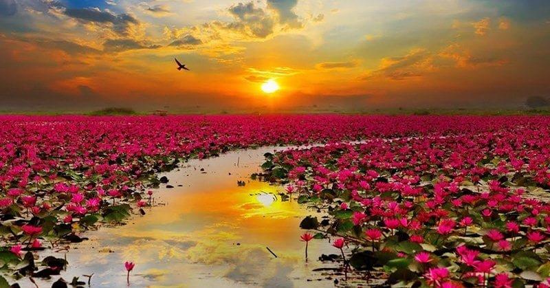 Hồ hoa súng Talay Bua Daeng